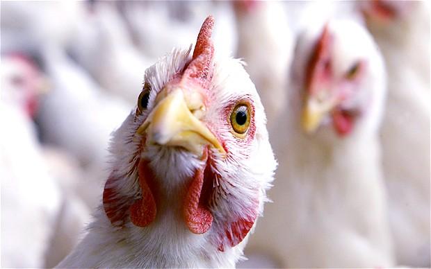 pollos mutantes agrosuper
