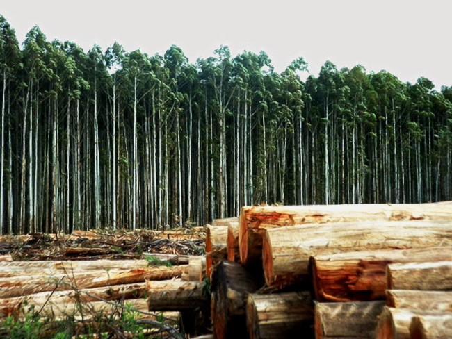 monocultivo forestal