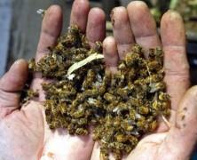 GRACIAS TRANSGÉNICOS: Población de abejas en Chile disminuye un 8% cada año