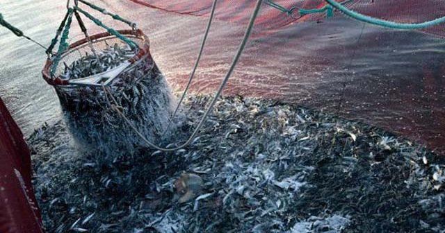 Gracias Ley Longueira: Merluza y congrio podrían desaparecer por la sobreexplotación pesquera