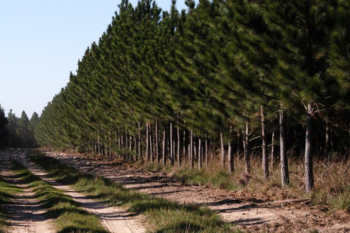 monocultivo pinos